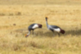 Two secretary birds in short grass | Tanzania | Shots and Tales