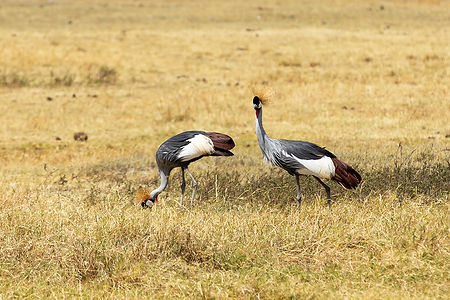 Two secretary birds in short grass | Tanzania | Shots and Tales
