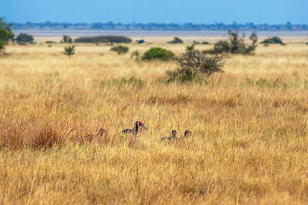 Birds in the grass | Tarangire National Park | Shots and Tales