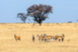 Eland antelopes in the Serengeti | Tanzania Safari | Shots and Tales