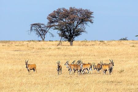 Eland antelopes in the Serengeti | Tanzania Safari | Shots and Tales