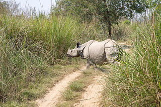 Rhino crossing the jeep path at Chitwan National Park, Nepal