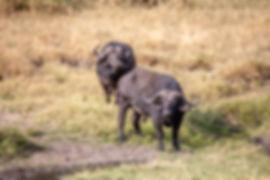 Two african buffalos in the Serengeti during a Safari in Tanzania | Shots and Tales