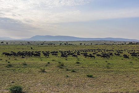 Wildebeest migration in the Serengeti, Tanzania, near Mara River, Shots and Tales