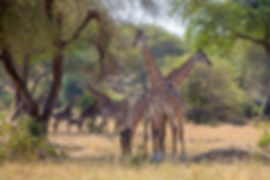 A tower of giraffes at Tarangire National Park | Tanzania | Shots and Tales