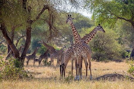 A tower of giraffes at Tarangire National Park | Tanzania | Shots and Tales