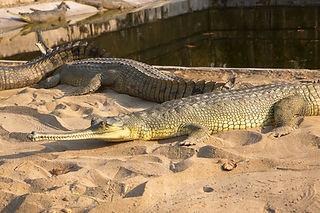 Crocodile at Crocodile Hatching Farm in Kasara, Chitwan National Park, Nepal