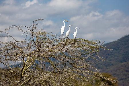 Three white birds, egrets on a thorn tree, at Lake Manyara, Tanzania | Shots and Tales
