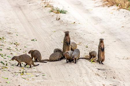 Striped Mongoose | Tarangire National Park | Tanzania | Shots and Tales