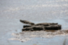 Crocodiles in the Serengeti as seen during a safari in Tanzania | Shots and Tales