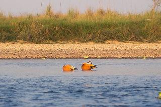 Ducks on Rapti River, Chitwan National Park, Nepal
