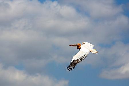 Pelican flying at Lake Manyara, Tanzania | Shots and Tales