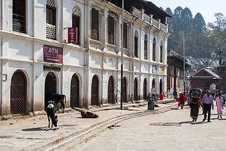 Nepal, Kathmandu, Pashupatinath Temple, Cows in ATM