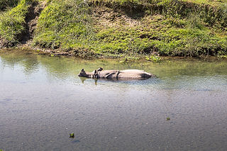 Rhino in the water at Chitwan National Park, Nepal