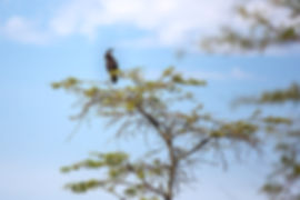 Long crested eagle at Lake Manyara, Tanzania, Shots and Tales