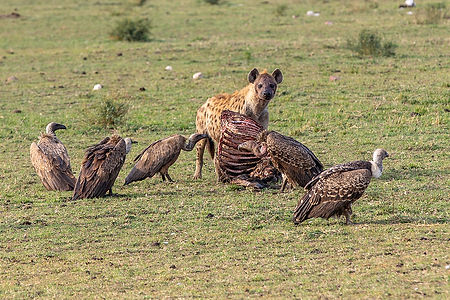 Scavengers - vultures, hyena and carcass as seen during a safari in Tanzania | Shots and Tales