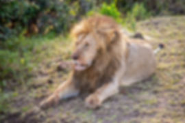 Adult lion who has just eaten in the Serengeti as seen during a safari in Tanzania | Shots and Tales