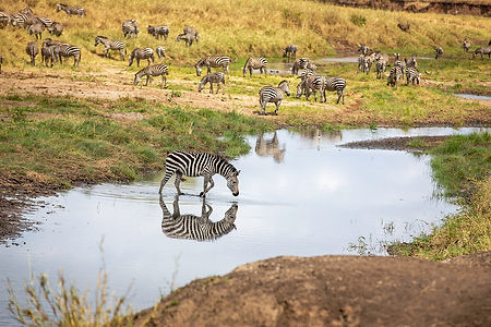 Zebra with reflection in the water | Tarangire National Park | Tanzania | Shots and Tales