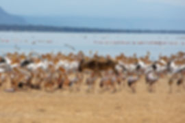 Wildebeest walking among birds at Lake Manyara | Shots and Tales