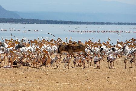 Wildebeest walking among birds at Lake Manyara | Shots and Tales