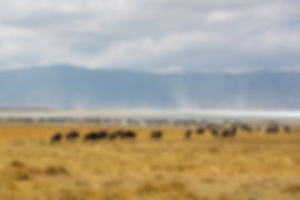 Wildebeest at Ngorongor Crater, Tanzania | Shots and Tales