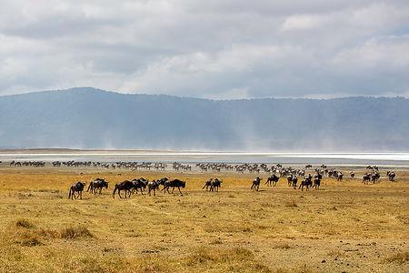 Wildebeest at Ngorongor Crater, Tanzania | Shots and Tales