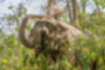 SU4E, Stand Up for Elephants, Elephant throwing dust on itself, Sauraha, Nepal