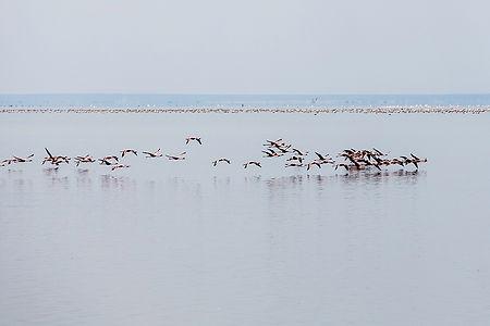 Flamingo birds flying on water at Lake Manyara, Tanzania, Shots and Tales