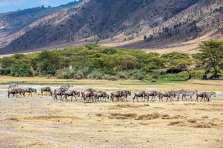 Wildebeest and Zebras walking in Ngorongoro crater, Tanzania, Shots and Tales