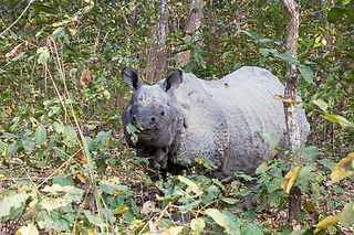 Rhino in the jungle, at Chitwan National Park, Nepal