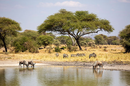 Wildebeest and zebras at a water hole in August | Tanzania | Shots and Tales
