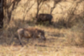 Wild Boar | Tarangire | Tanzania | Shots and Tales