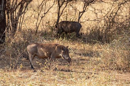 Wild Boar | Tarangire | Tanzania | Shots and Tales