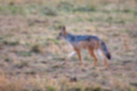 Jackal in the Serengeti duing a safari in Tanzania | Shots and Tales