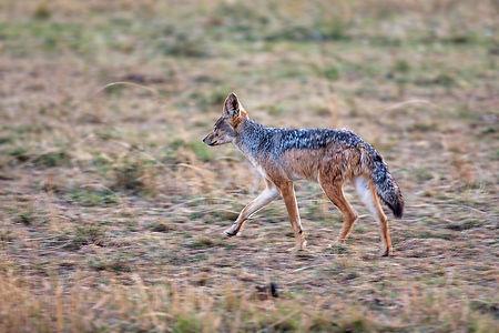 Jackal in the Serengeti duing a safari in Tanzania | Shots and Tales