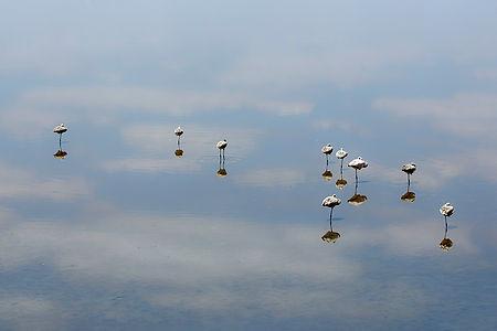 Juvenile flamingos with reflections in the water, Lake Manyara, Tanzania, Shots and Tales
