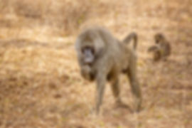 Baboon in the Serengeti during a Safari in Tanzania | Shots and Tales