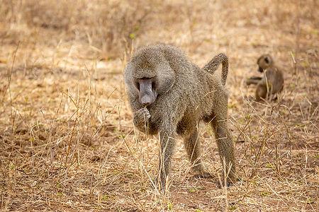 Baboon in the Serengeti during a Safari in Tanzania | Shots and Tales