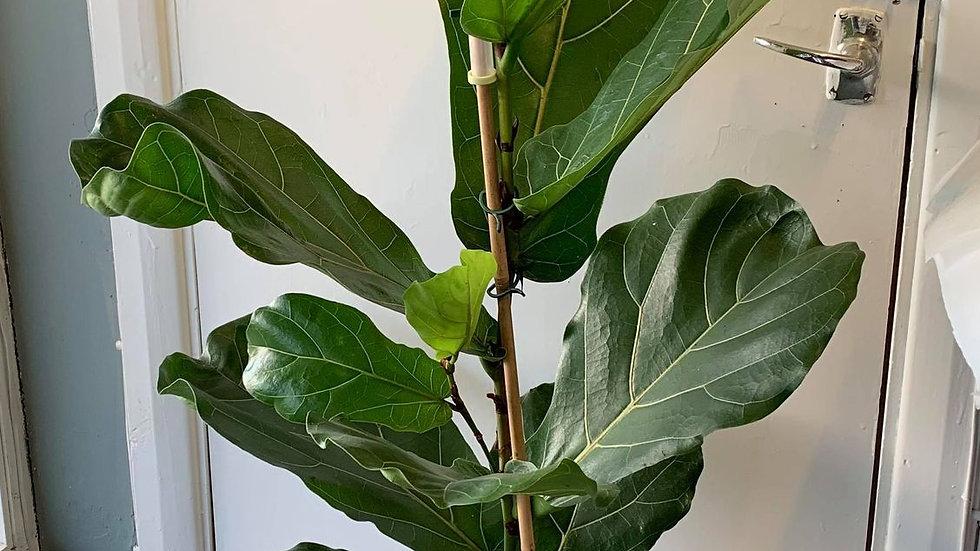 Ficus houseplant