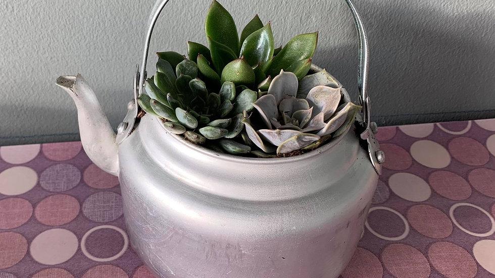 Mini Succulents in a teapot