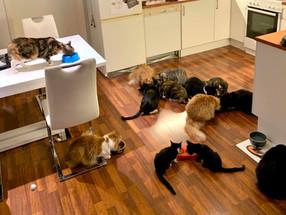Integrering og tilvenning mellom katter