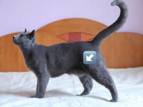 Cat Belly Flap