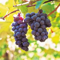 виноград-01.jpg