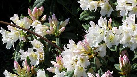 Rhododendren im Nymans Garden