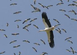 Migração de cegonhas