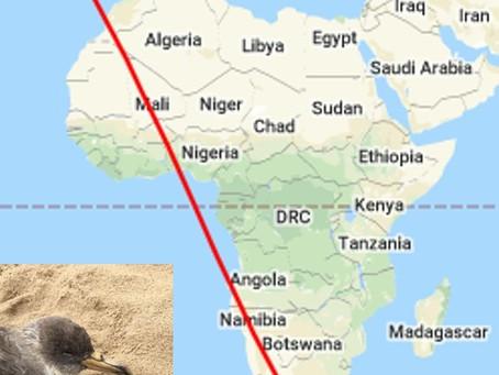 Cagarra anilhada em Portugal encontrada 40 anos depois