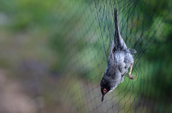 Toutinegra-de-cabeça-preta capturada na rede de anilhagem