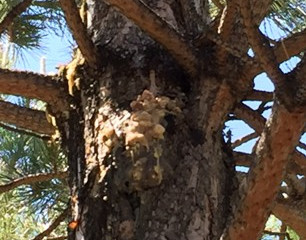 What is eating my pine tree?