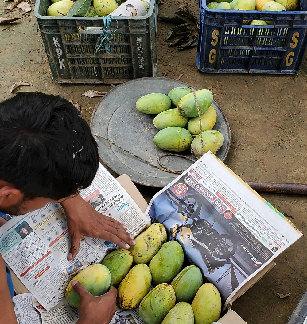 Mangoes being packed at farm for direct home delivery.