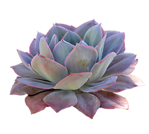 succulent-clipart-side-view-4.png